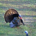 Jim Corbett of New Dundee saw this boss gobbler just struttin' for the gals.