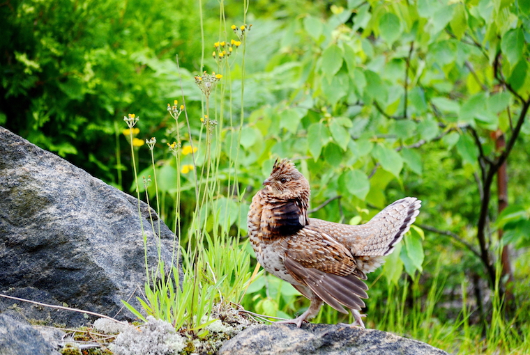 June solunar ruffed grouse dude