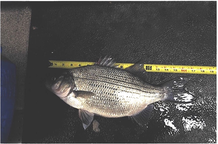 Ontario records white bass