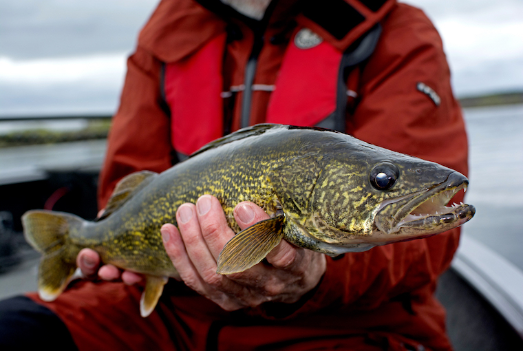 pro tactics for walleye