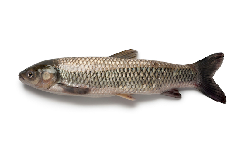 grass carp targeted in Great Lakes