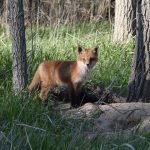 Nathan Robbins of Lindsay captured a shot of this fox kit curiously scoping his surroundings while the rest of the litter napped in a nearby den.