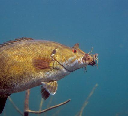 bass with crayfish