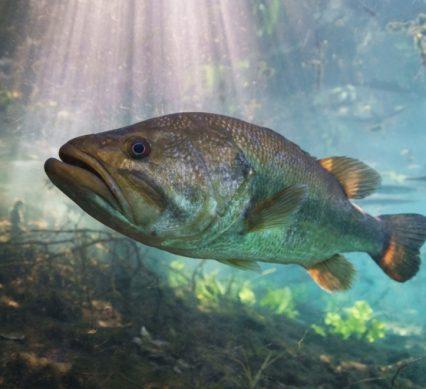 Where largemouth lurk underwater photo of bass