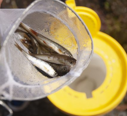 Minnows held in a net above a minnow bucket