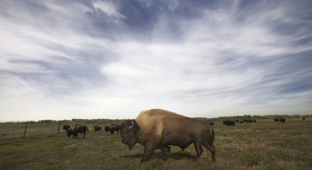 Syncrude maintains a herd of 300 award-winning wood bison on reclaimed grassland at its Beaver Creek Ranch, operated in conjunction with Fort McKay Group of Companies.