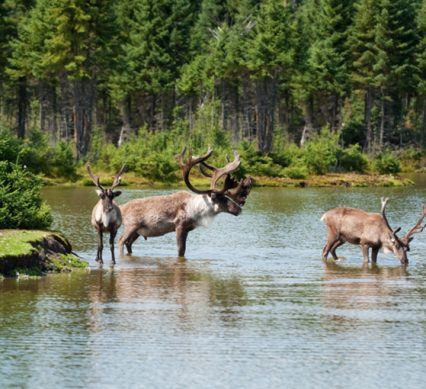 Caribou cuties wading out into a river