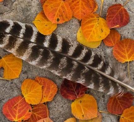a turkey feather laying on stone, garnished by fallen leaves in various shades of orange