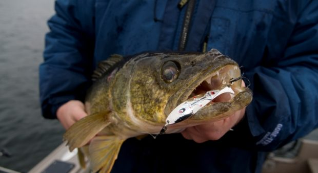 Up close look at a walleye