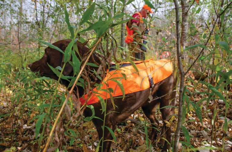 hunter orange protects dogs, too, in this photo of a lab wearing a hunter orange cape