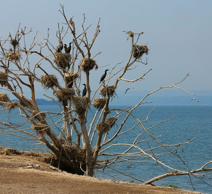 How to hunt cormorants, featuring a roost filled with waterfowl, overlooking some water