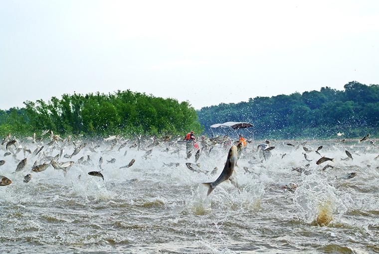 carp leaping