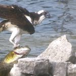 Jeff Bentley of Bobcaygeon witnessed a raptor struggling to lift its catch into the air; the bird picked at it for five hours instead.