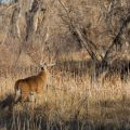 a buck steps out cautiously from the verge