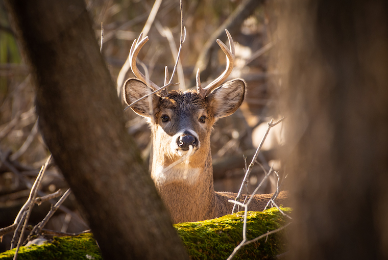 a buck on alert between the bare trees