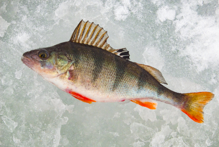 fish on a slab of ice