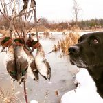 Steve Delyea of Port Perry and his retriever, Quinn, enjoyed some amazing green-winged teal hunting.