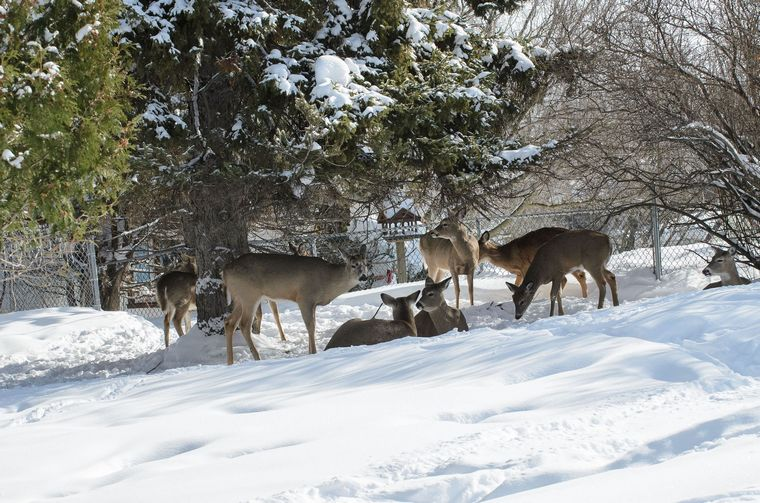 deer bedding in the snow under a cedar tree