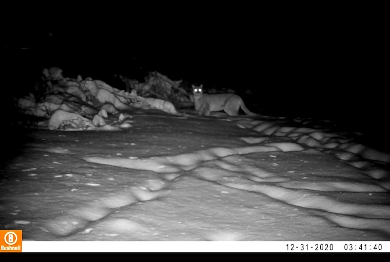 Chris Marley Cougar on trail cam