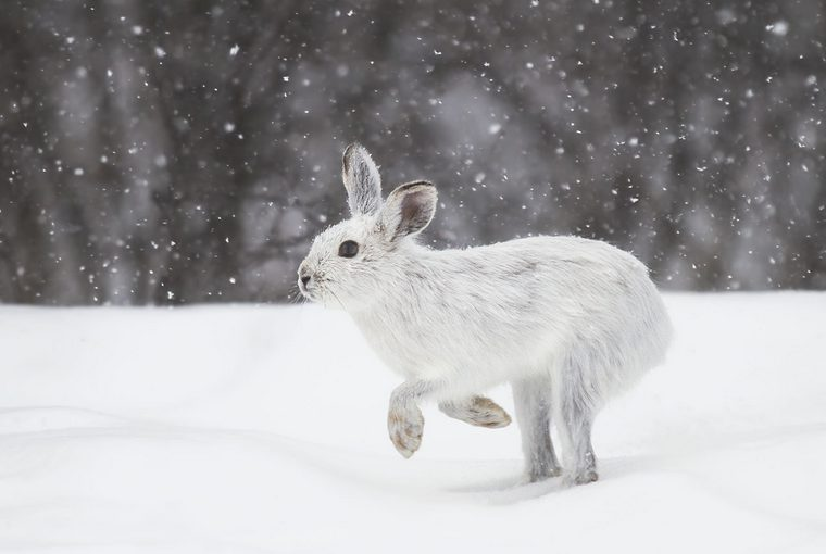 Snowshoe hare, varying hare in winter