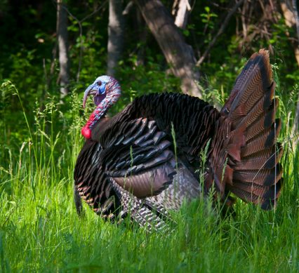 wild turkey in strut with grass