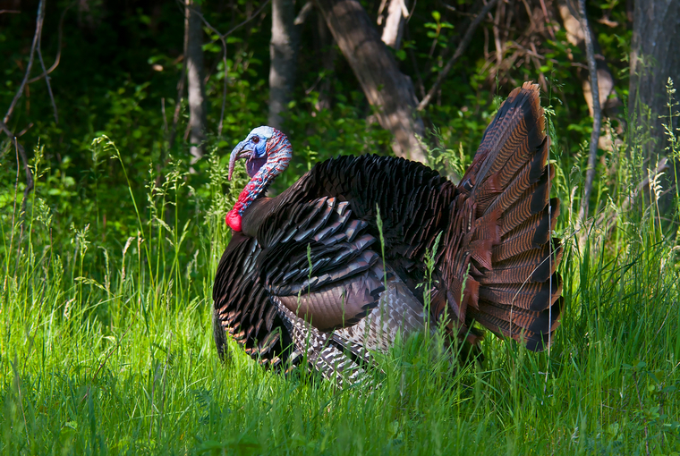 wild turkey in strut with grass