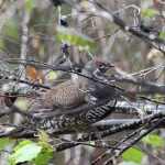While his father was grouse hunting last fall, Owen Zammit of Ancaster followed along and snapped this candid pic of a spruce grouse trying to remain unnoticed
