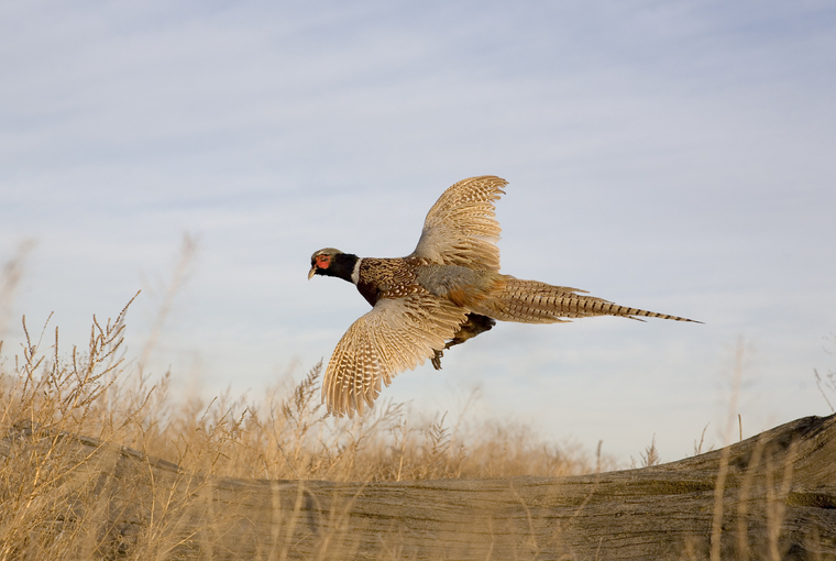 pheasant in flight