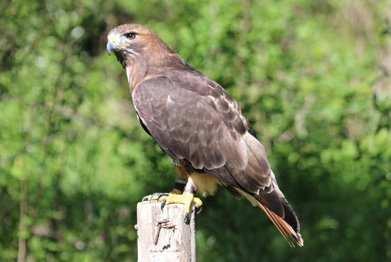red-tailed hawk perched on a fencepost