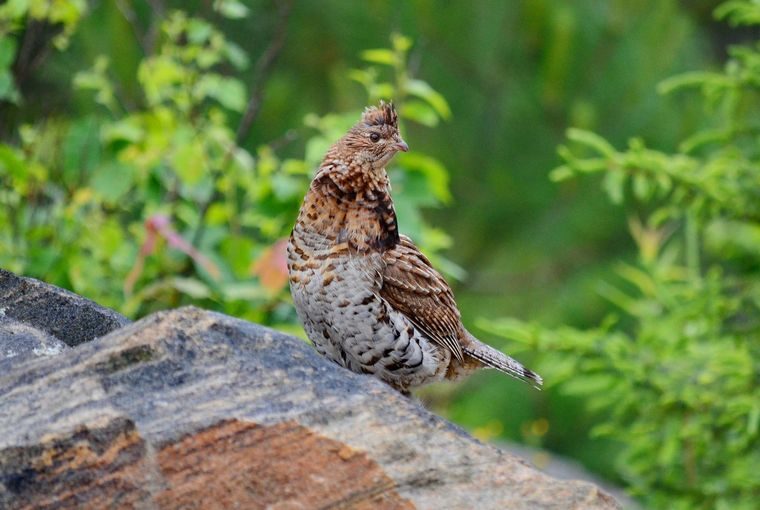 Grouse sitting on a rock