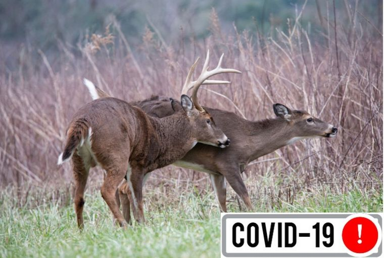 Buck and doe during the rut up with Covid button.