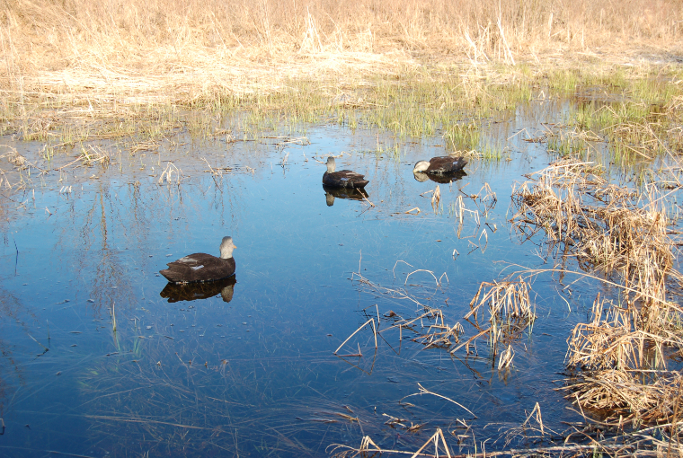 3 black duck decoys on a pond close to the shore.