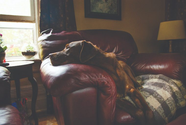 Chocolate-coloured mid-sized dog lays on a plush red chair inside a home gazing out the window.