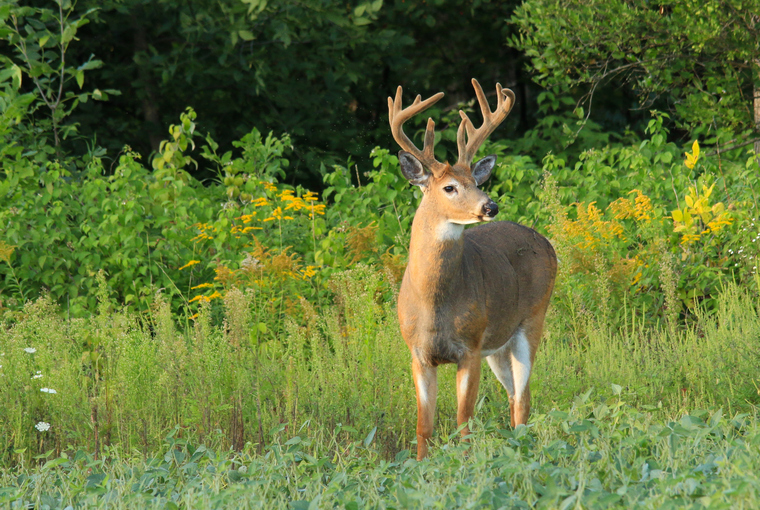 A large buck in velvet stands alert at the edge of a field surrounded by trees and small vegetation.