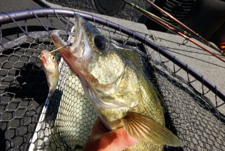 Shiny walleye lies in net of angler with hook attached to mouth.