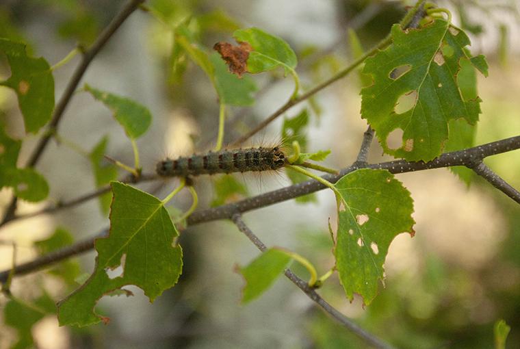 LDD (lymantria dispar dispar) caterpillar on a poplar branch making it's way to munch on a leaf.