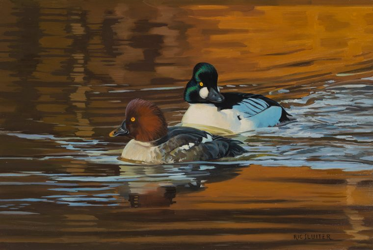 A pair of common goldeneyes swim beside each other on calm water.