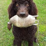 Peter Wright of Ottawa shared this photo of Mick, a five-year-old female Irish Water Spaniel, belonging to Anne and Peter Wright, prepared and ready to go for the upland bird season in Lanark County.