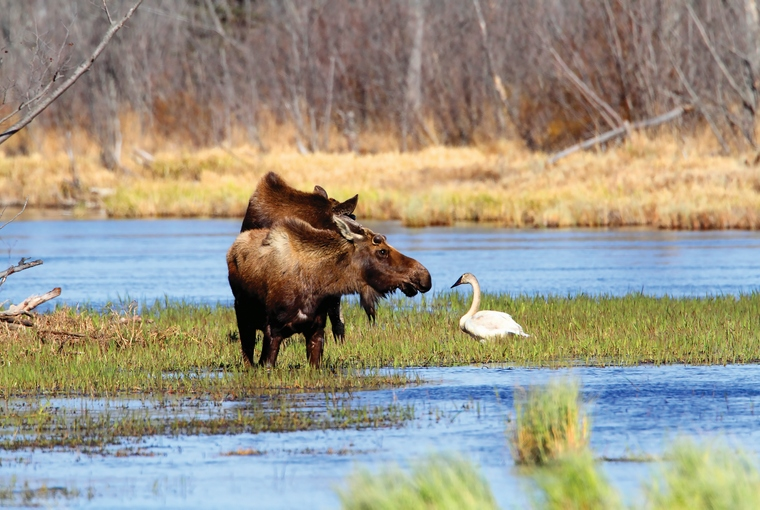 Two moose in the spring wade in the marshland looking at a swan.
