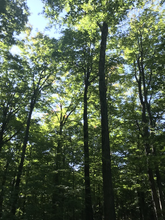 a forest scene, looking up to treetops