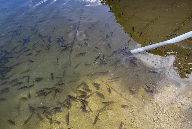 fingerling fish being released into a waterway